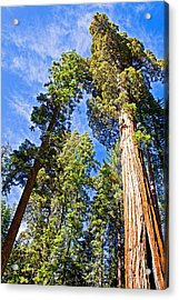 Sequoias Reaching To The Clouds In Mariposa Grove In Yosemite National Park-california Acrylic Print by Ruth Hager