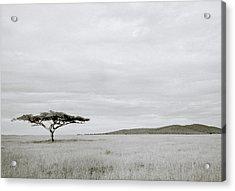 Serengeti Acacia Tree  Acrylic Print by Shaun Higson