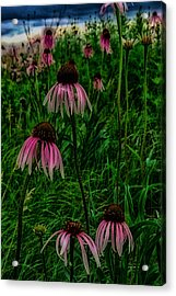 Serious Coneflowers Acrylic Print by Kimberleigh Ladd