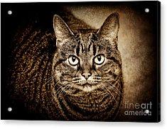Serious Tabby Cat Acrylic Print