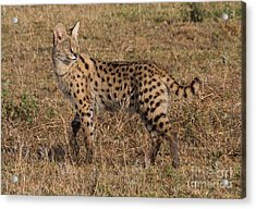 Serval Cat 3 Acrylic Print by Chris Scroggins