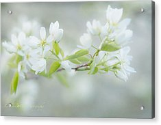 Serviceberry Blossoms Acrylic Print by Beverly Cazzell