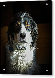 Setter In Contrast Acrylic Print by Andrew Lawlor