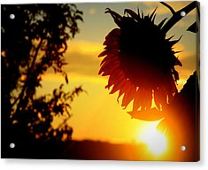 Acrylic Print featuring the photograph Setting Sunflower by Aurelio Zucco