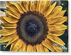 Shabby Chic Sunflower Acrylic Print by Cris Hayes