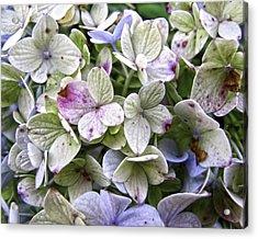 Shabby Hydrangea Acrylic Print by Rose  Fleming
