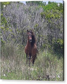 Shackleford Pony Acrylic Print