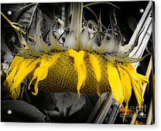 Shaded Sunflower Acrylic Print