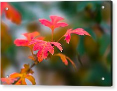 Shades Of Autumn - Red Leaves Acrylic Print by Alexander Senin