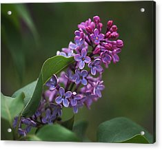 Shades Of Lilac  Acrylic Print by Rona Black