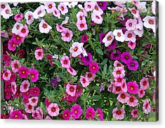 Shades Of Pink Acrylic Print by Aimee L Maher Photography and Art Visit ALMGallerydotcom