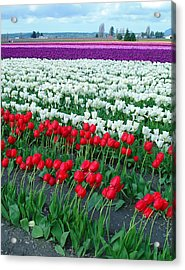Shades Of Tulips Acrylic Print