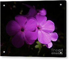 Shadow Phlox Acrylic Print by Tim Good