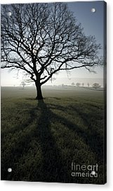 Shadow Tree Acrylic Print by Anne Gilbert