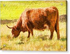 Shaggy Scottish Highlander Acrylic Print