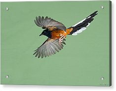 Shama Thrush In Flight Acrylic Print