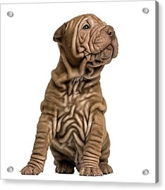 Shar Pei Puppy Sititng, Looking Up Acrylic Print by Life On White