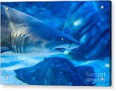 Shark Acrylic Print