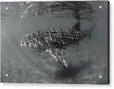 Shark Rays Acrylic Print by David Valencia