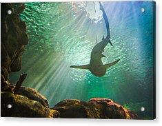 Shark Tank Acrylic Print by Bill Pevlor