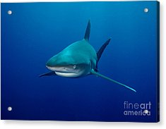 Sharks Acrylic Print by Boon Mee