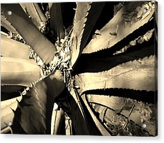 Sharp Edged Self Protection Acrylic Print by Lori-Anne Fay