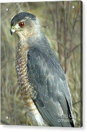 Sharp-shinned Hawk Acrylic Print by Darleen Stry