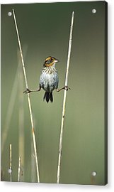 Sharp-tailed Sparrow On Reeds Long Acrylic Print by Tom Vezo