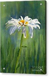 Shasta Daisy Flower With Blue Green Background Acrylic Print by Sharon Freeman