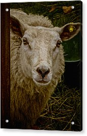 She Likes Crackers Acrylic Print by Odd Jeppesen
