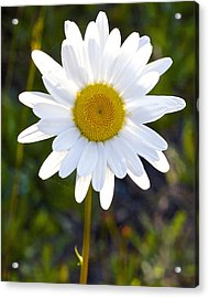 Acrylic Print featuring the photograph She Loves Me She Loves Me Not by Todd Kreuter