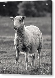 Sheep Art  Acrylic Print