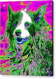 Sheep Dog 20130125v2 Acrylic Print by Wingsdomain Art and Photography