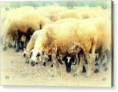 I Have This Incredible Sheep Feeling  Acrylic Print by Hilde Widerberg