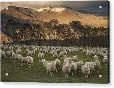 Sheep Flock At Dawn Arrowtown Otago New Acrylic Print by Colin Monteath, Hedgehog House