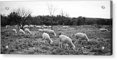 Sheep Graze Acrylic Print by Laurent Fox