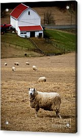Sheep Grazing Acrylic Print by Amy Cicconi