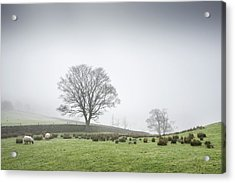 Sheep Grazing On A Misty Morning Acrylic Print