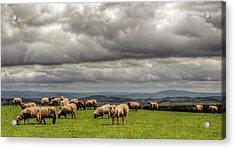 Sheep  Grazing On A Mountain Pasture Acrylic Print