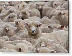 Sheep Herd In New Zealand 2 Acrylic Print by Clickhere