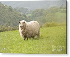 Sheep In Pasture Acrylic Print
