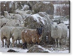 Sheep In Snow Acrylic Print by Christopher Mace