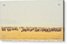 Sheep In Snow Acrylic Print