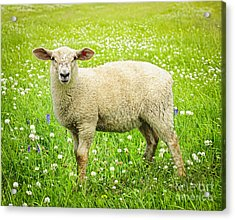 Sheep In Summer Meadow Acrylic Print by Elena Elisseeva