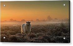 Sheep In The Mist Acrylic Print