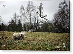 Sheep In Village Field Acrylic Print by Jolanta Meskauskiene