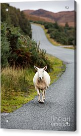Sheep Acrylic Print by Jane Rix