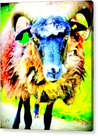 It's A Sheep Life Inside Of This Coat  Acrylic Print by Hilde Widerberg