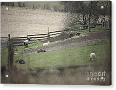Sheep Life Acrylic Print by Graham Foulkes