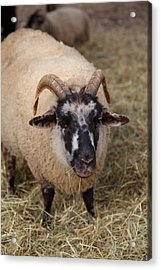 Sheep - Mt Vernon - 01133 Acrylic Print by DC Photographer